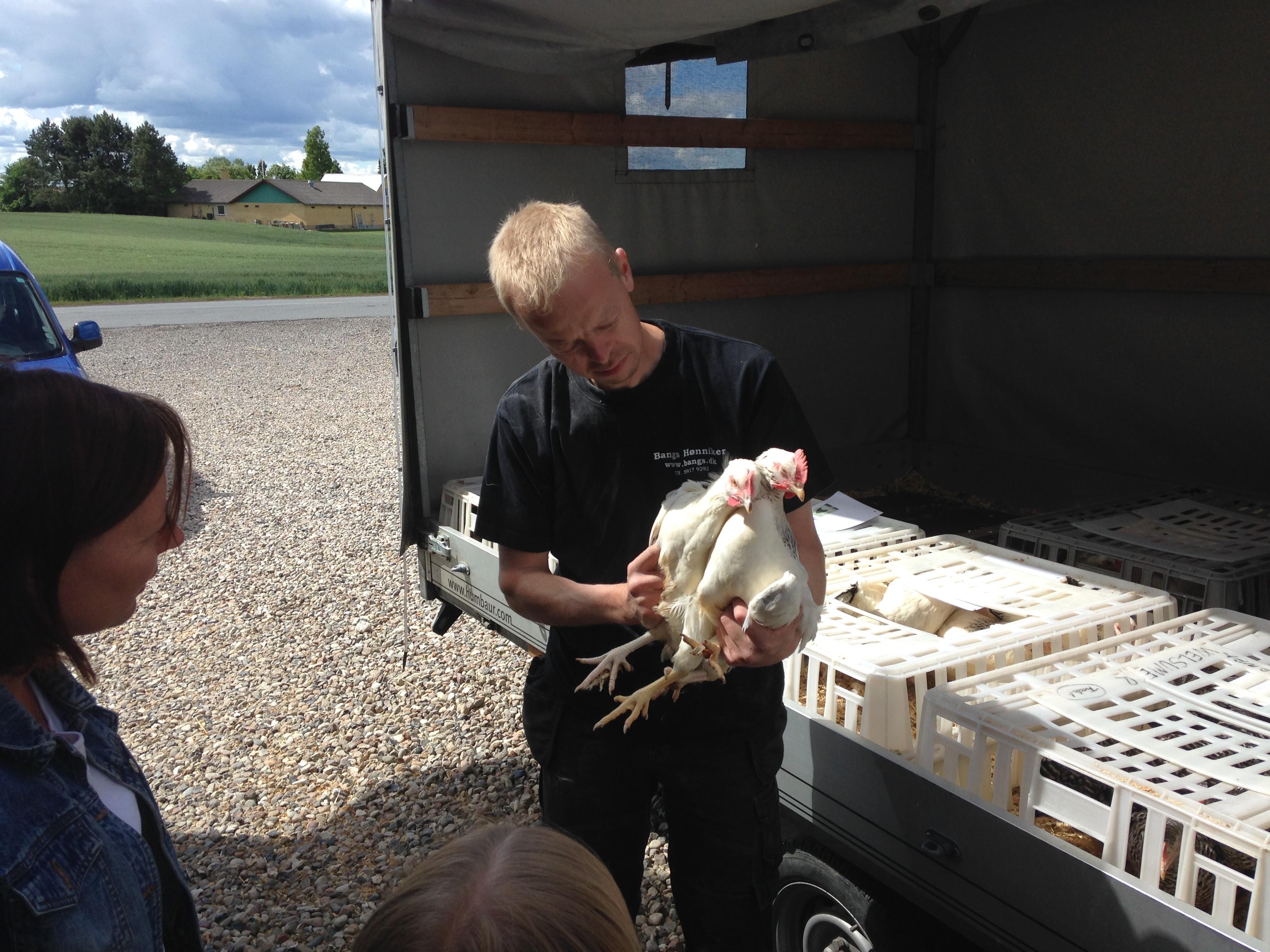 Håndtering af høns